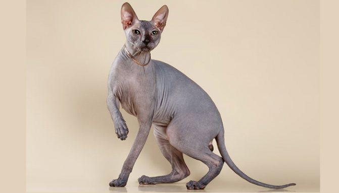 Красота котов донской лысой породы