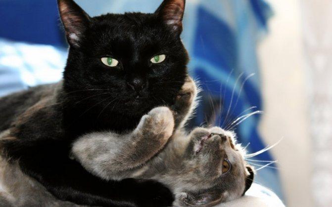 Крипторхизм у котов – заболевание или отклонение. Крипторхизм кошек: причины, советы по уходу, кастрация