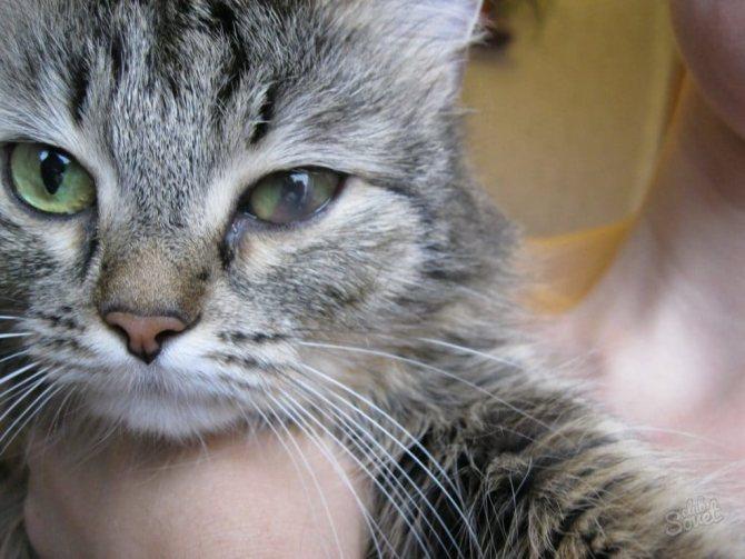 Кровотечение в глазу у кота