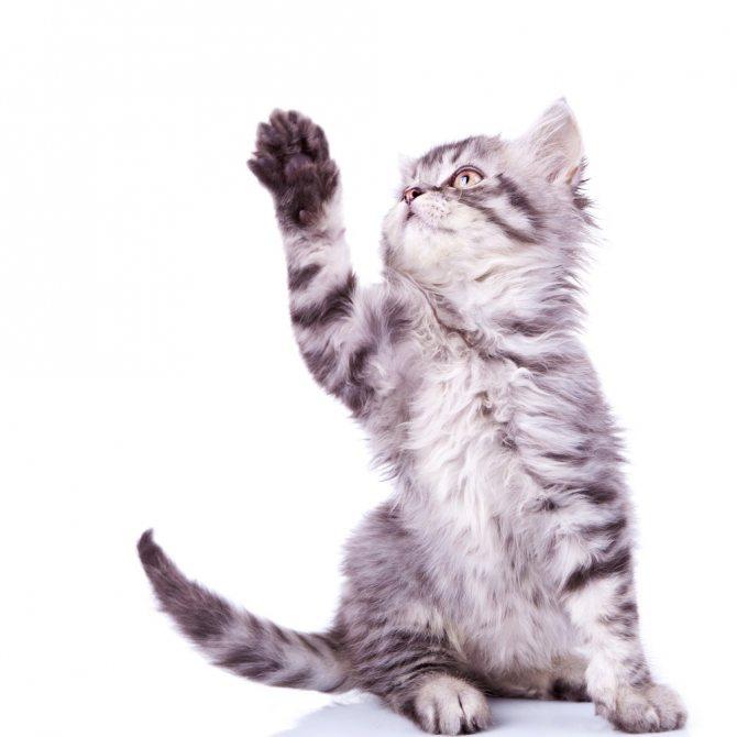 Крупноклеточная лимфома у кошек
