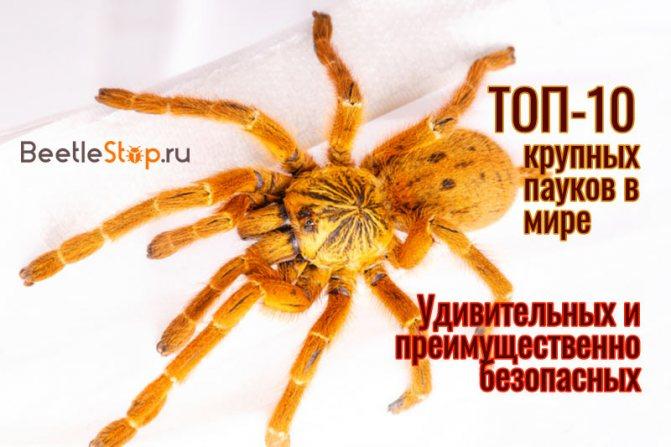 Крупные пауки