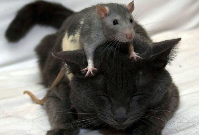Крыса сидит на кошке