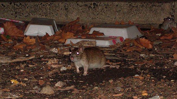 Крысы и мыши также являются активными переносчиками маленьких кровососов.