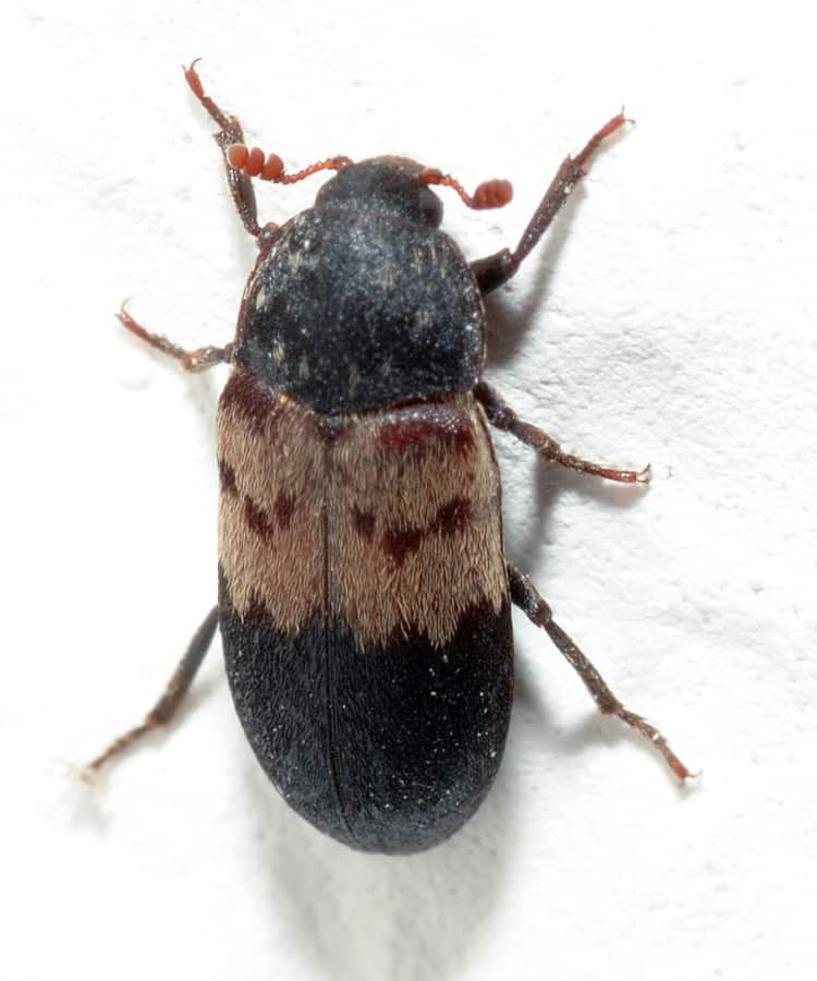 Кто такой жук-кожеед и какой вред наносит? Как найти в квартире и избавиться?