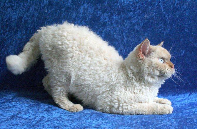 Кудрявые кошки породы селкирк-рекс
