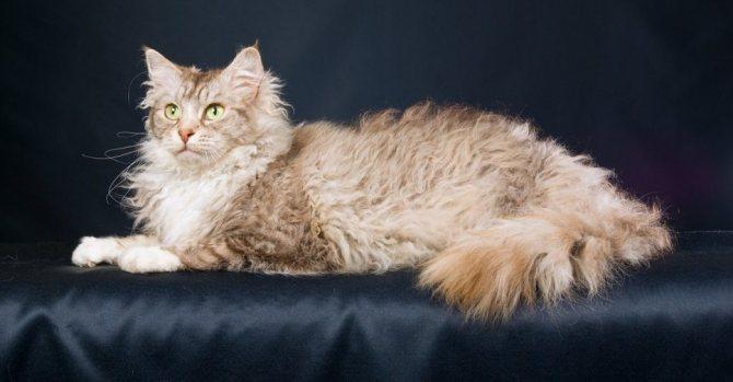 Кудрявые породы кошек - названия, описание и фото