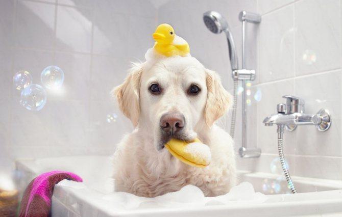 Купание собаки шампунем против перхоти