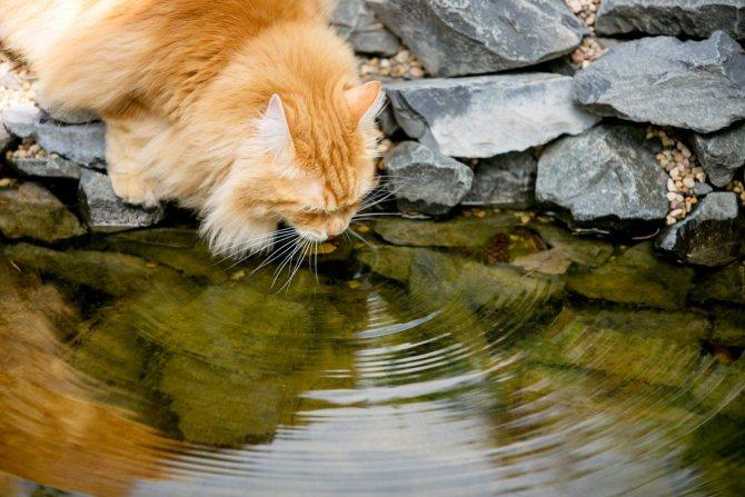 курбоб пьет воду