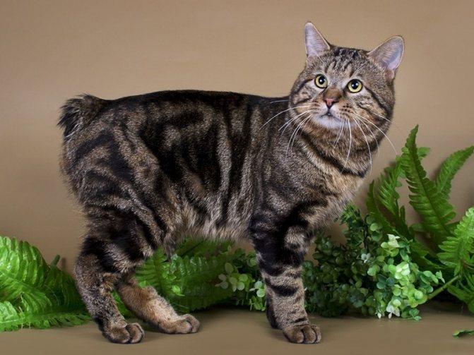 Курильская порода кошек