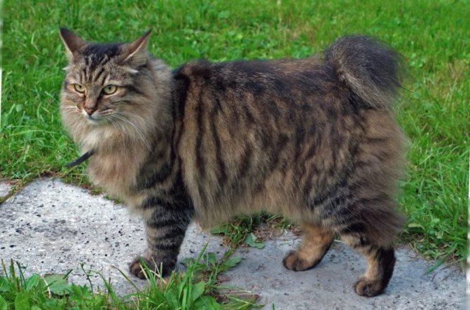 Курильский бобтейл: короткохвостая кошка родом из России