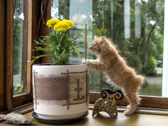 Курильский короткохвостый котёнок фото.jpg