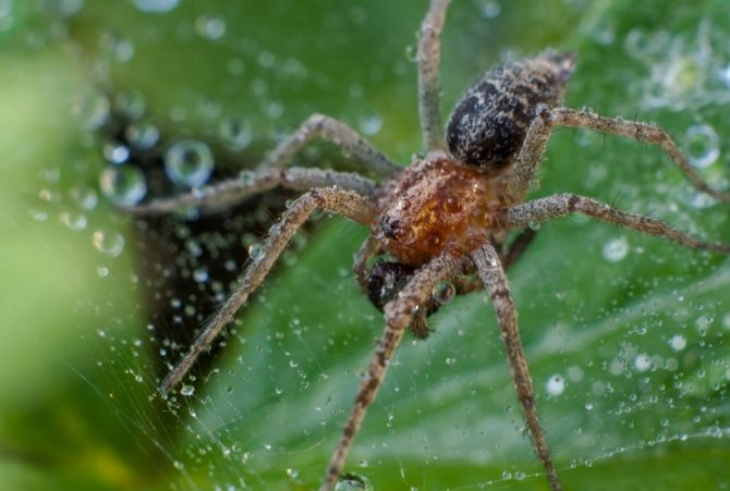 Лабиринтовый паук