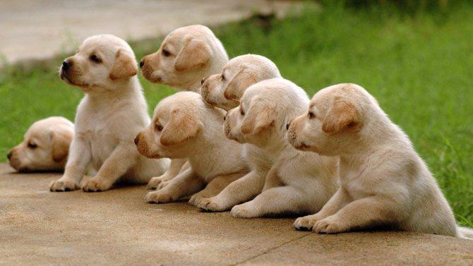 Лабрадор в квартире: как содержать собаку, особенности ухода