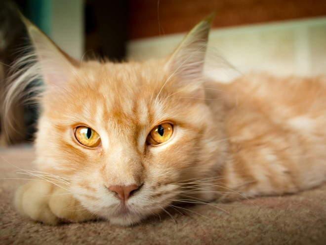 ларингит у кота лечение в домашних условиях