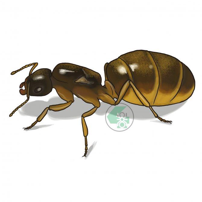 Lasius flavus (жёлтый садовый муравей)