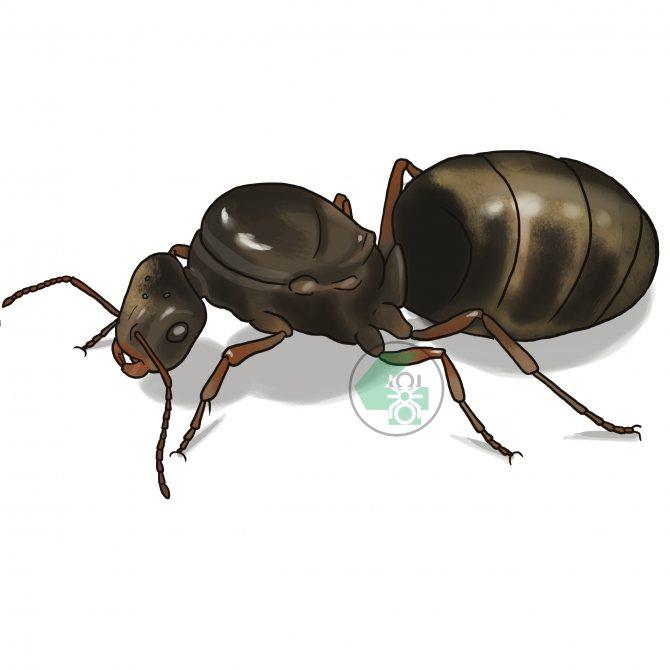 Lasius niger (чёрный садовый муравей)