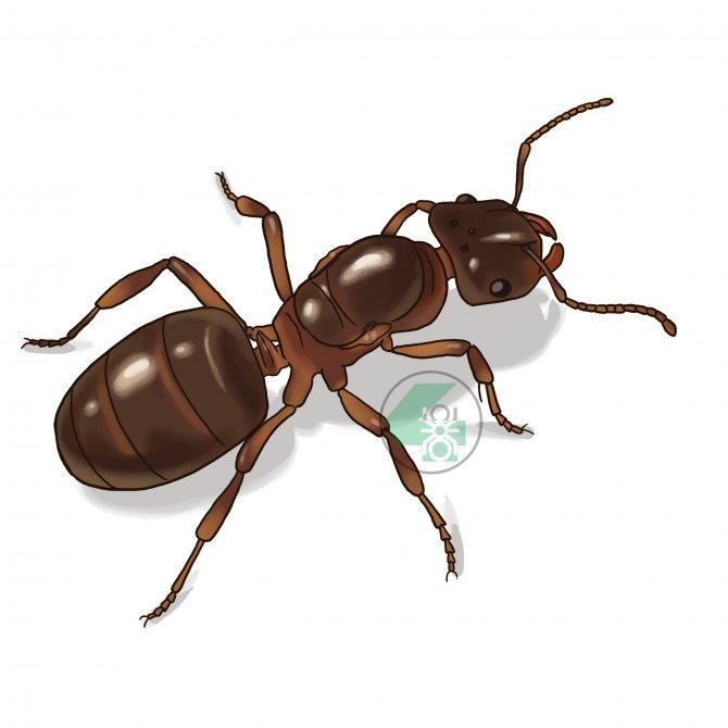 Lasius umbratus (жёлтый пахучий муравей)