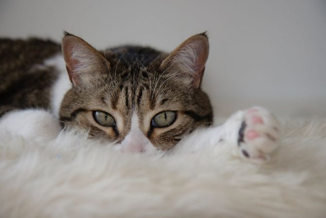 лечение дома рвоты у кошки белой пеной