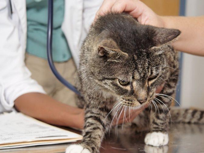 Лечение гипертиреоза у кошек