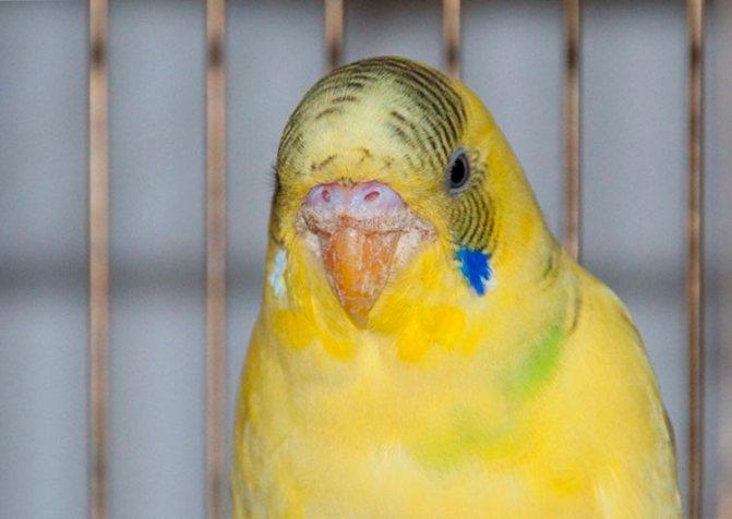 Лечение кнемидокоптоза у попугаев в домашних условиях