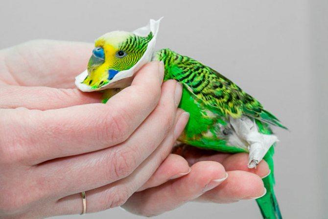 Лечение кнемидокоптоза у попугая