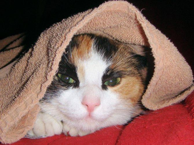 лечение кошки от застоя мочи