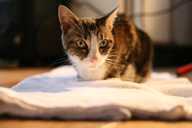 лечение лептоспироза у кошек