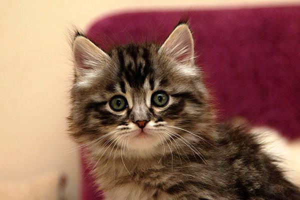 Лечение микроспории у кошек в домашних условиях симптомы и признаки