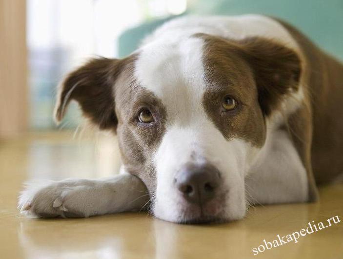 Лечение мочекаменной болезни у собак