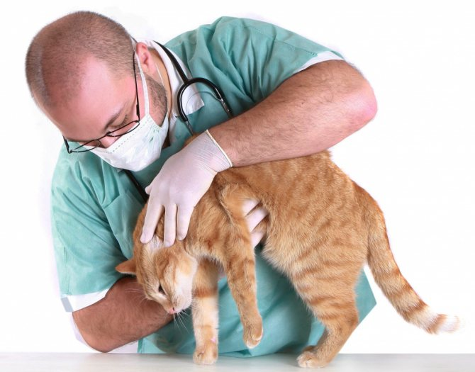 лечение перитонита при коронавирусе у кошек