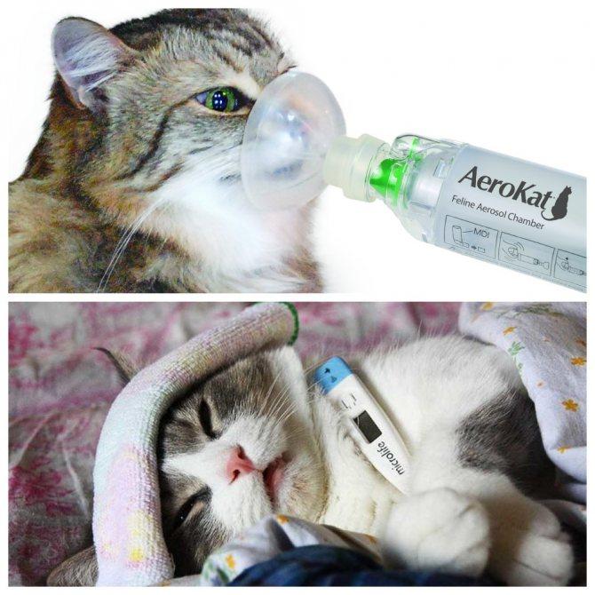 Лечение плеврита у кошек