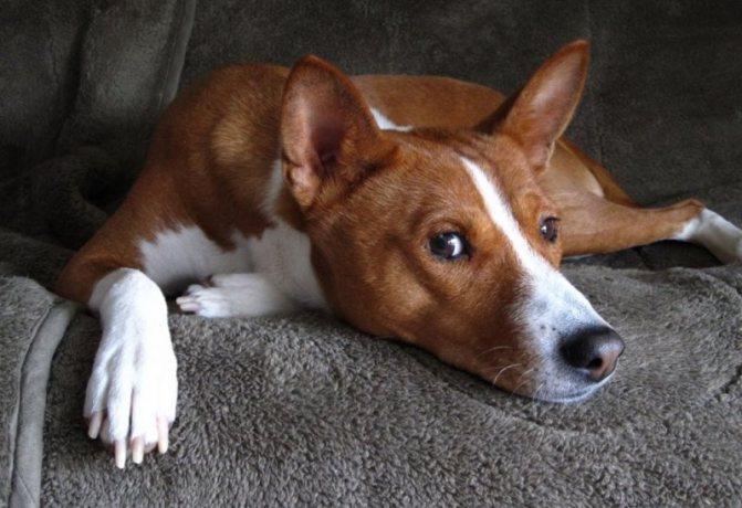 лечение простатита у собак