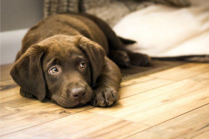 Лечение собак Преднизолоном за и против. Преднизолон для собак для чего назначают, инструкция по применению, дозировка Последствия приема преднизолона у собак