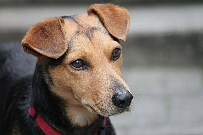лечение собаки от блох