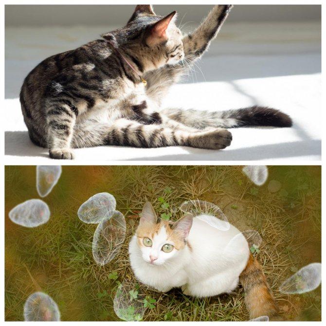 Лечение токсокароза у котов