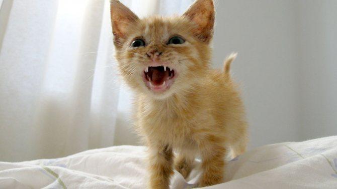 лечение запаха изо рта у котят