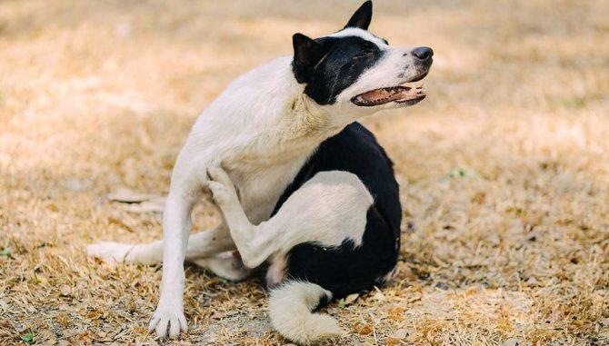 Лечение зуда у собак