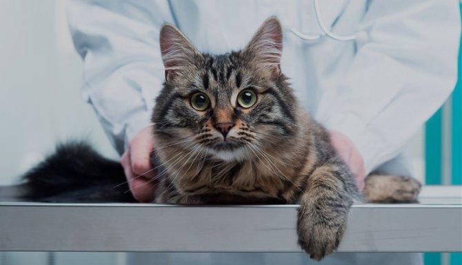 лечение_чесотки_у_кошки