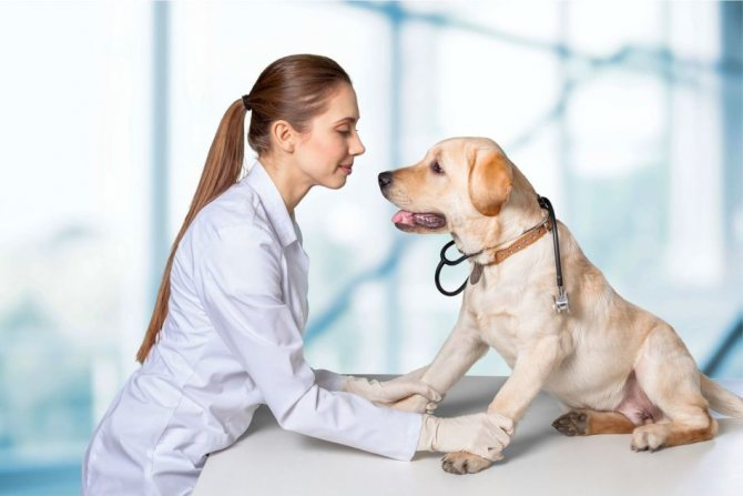 Лечить пироплазмоз должен ветеринар