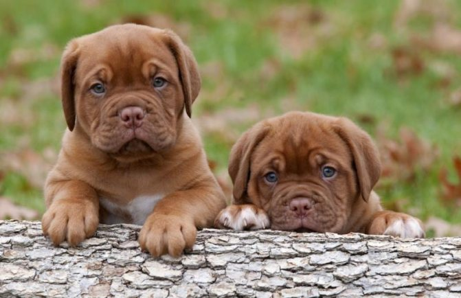 Легче всего определить пол щенка после достижения им месячного возраста