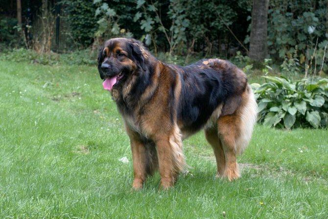 леонбергер собака