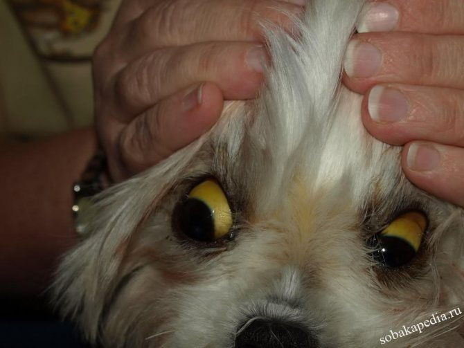 Лептоспироз у собак-угроза жизни собаковода