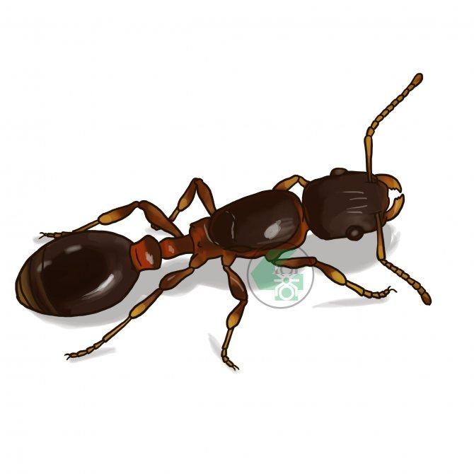 Leptothorax acervorum (подкорный муравей)