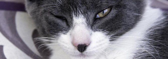 «Левомицетин» для кошек: показания, способы применения и дозировки зверушки,живность,питомцы, Животные