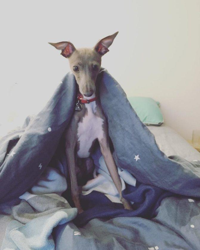 Левретка под одеялом