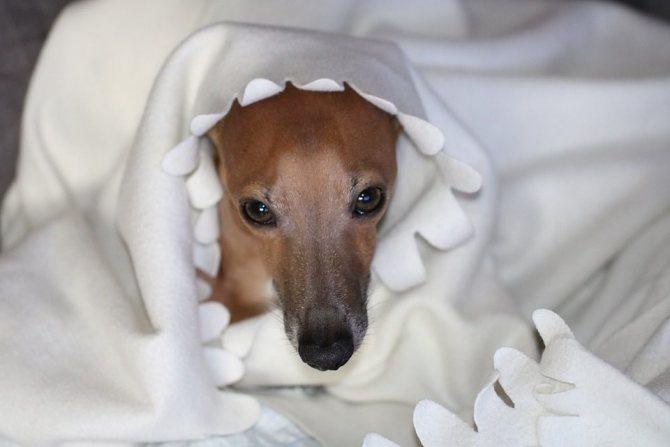 Левретка в одеяле