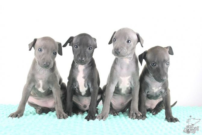 Левретки щенки