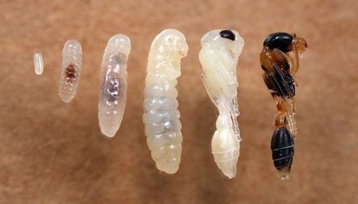 Личинка муравья