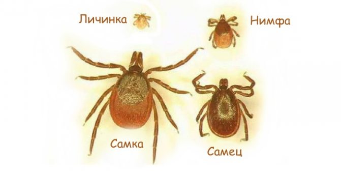 Личинка, нимфа, самец, самка