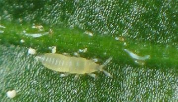 Личинка трипса